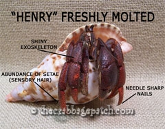 Hermit Crab Molt as molt inhibiting hormone