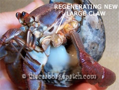 Limb bud on a hermit crab beginning to regenerate a new claw.